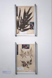 Herbarium di Giuseppe Raddi, scansione scientifica a cura del Museo e Orto Botanico di Pisa
